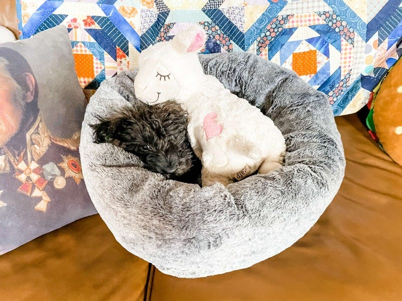 New Puppy Guide: My First Week with Pepsi the Schnoo
