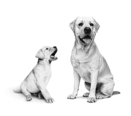 Royal Canin Puppy Maxi